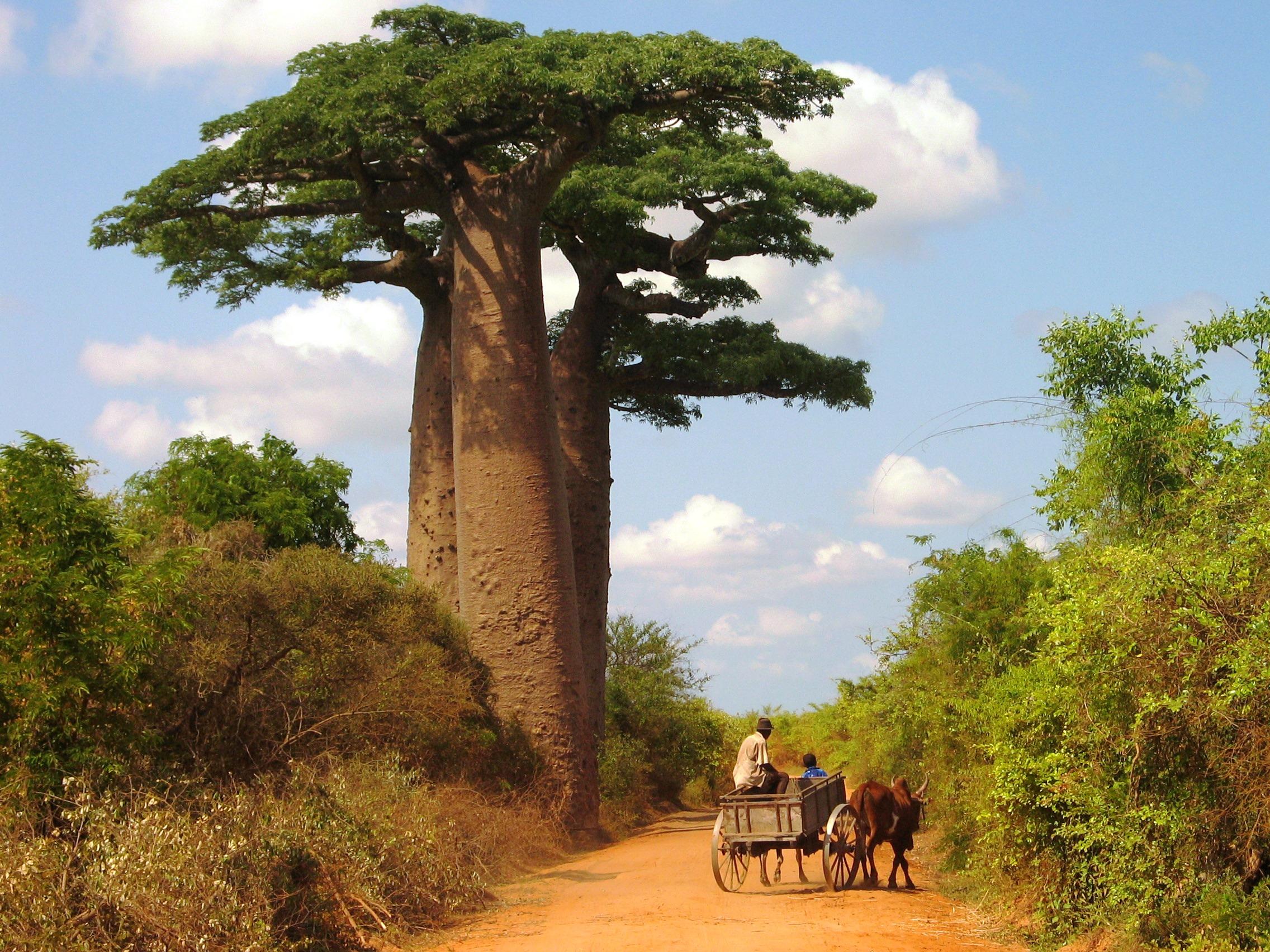 Madagascar, Baobab Scène