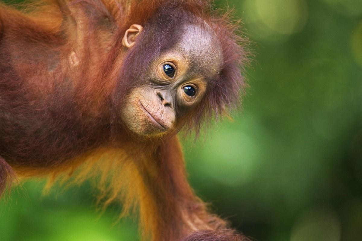 Malaysia, Borneo, Sarawak, Semenggoh Orangutan Rehabilitation Centre