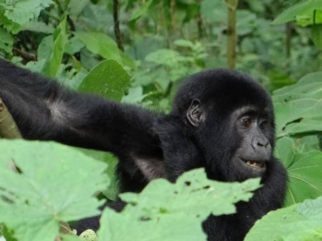 Uganda, Bwindi Impenetrable National Park, Silverback Mountain Gorilla