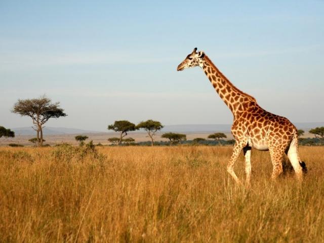 Kenya, Giraffe