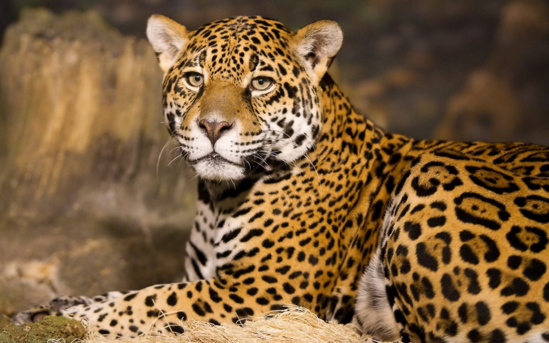 Kenya, Leopard