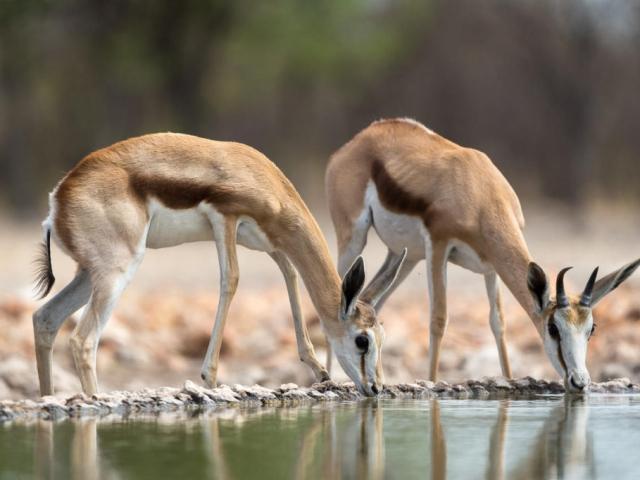 Namibia, Etosha National Park, Springbok Anderssons Camp