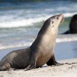 Seals on Pennington Beach