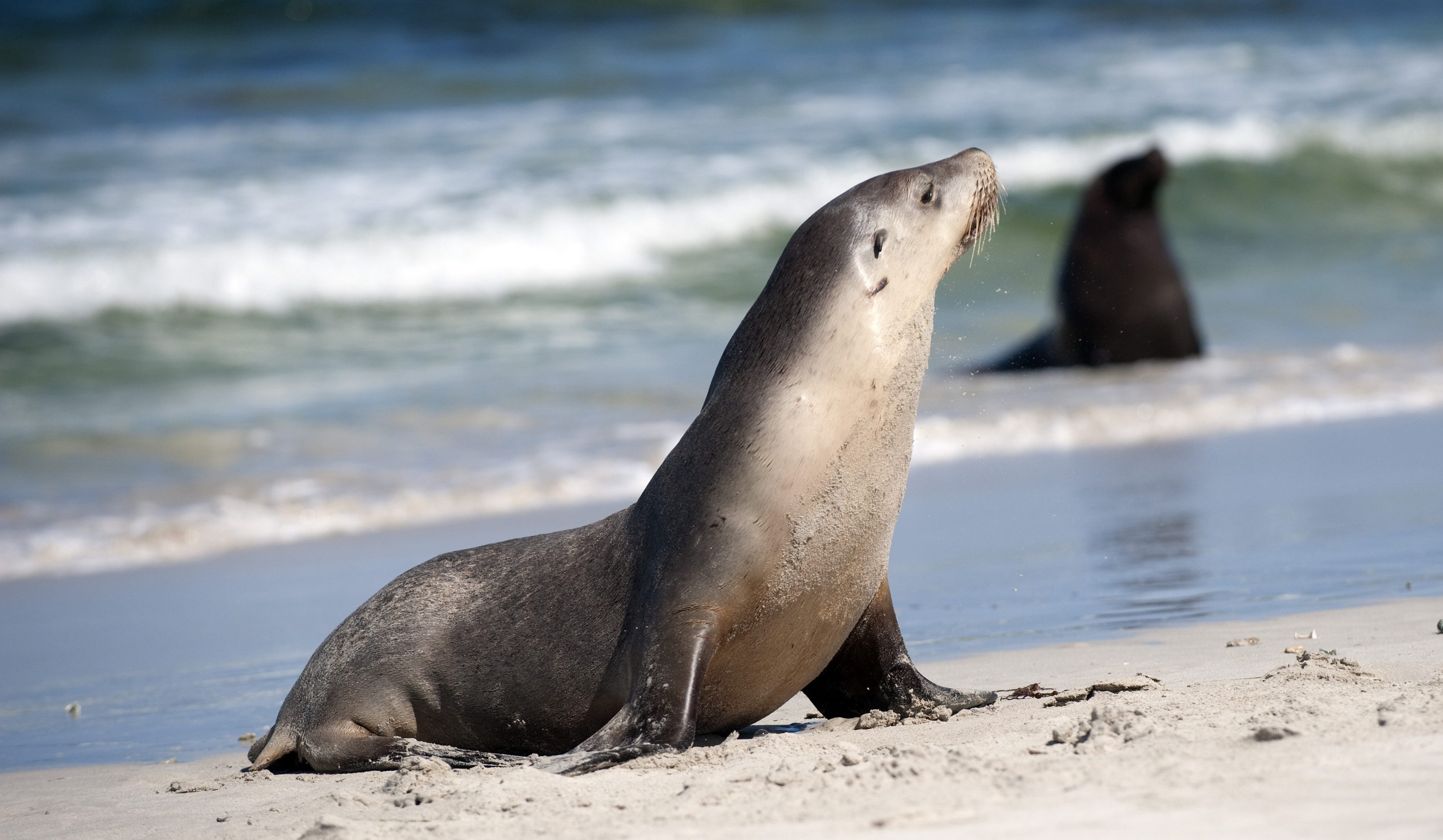 South Australia, Seals on Pennington Beach