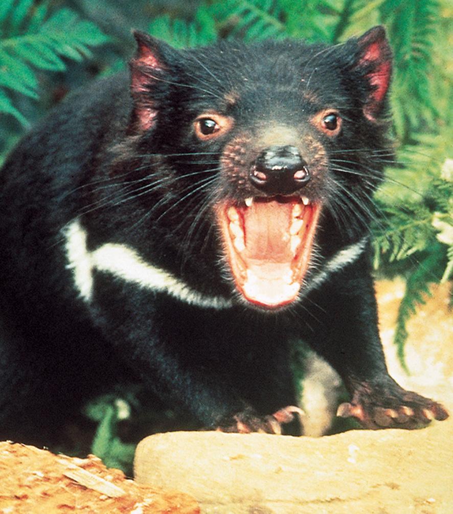Tasmania, Tassie Devil