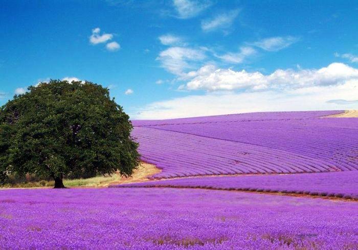 Tasmania,  Bridestowe Lavender Estate