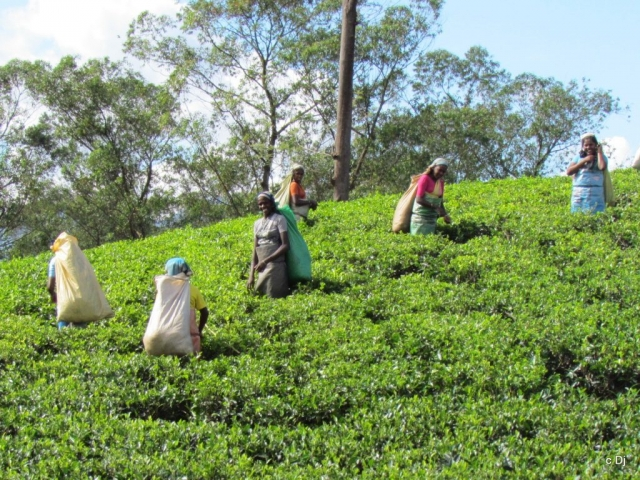 Sri Lanka, Nuwara Eliya, Tea Pickers