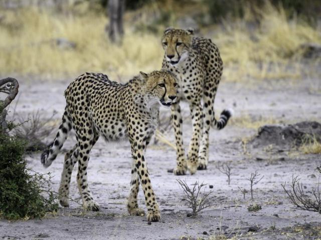 Botswana in Focus - Cheetah, Okavango Delta, Botswana