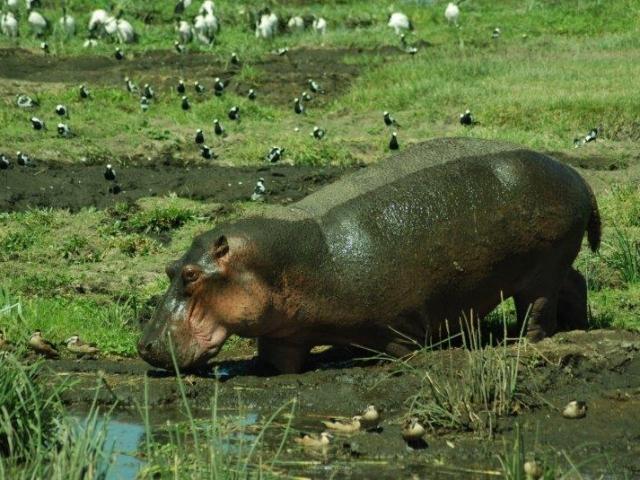 Kenya in Style, Hippo