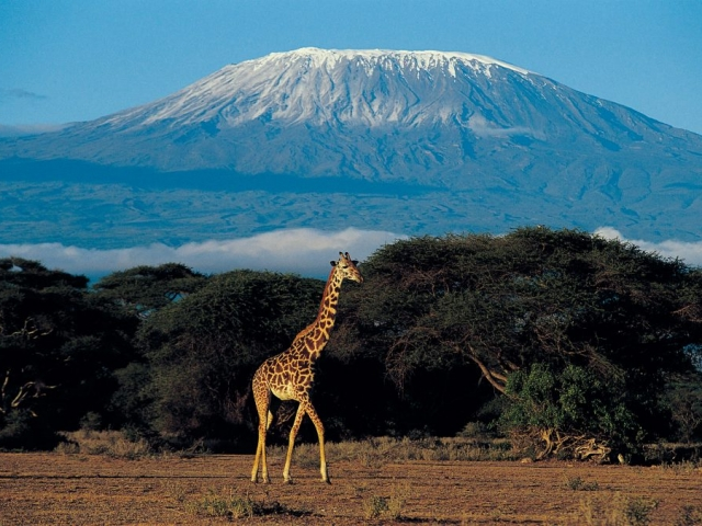 Cheetah Safari, Giraffe at Mount Kilimanjaro