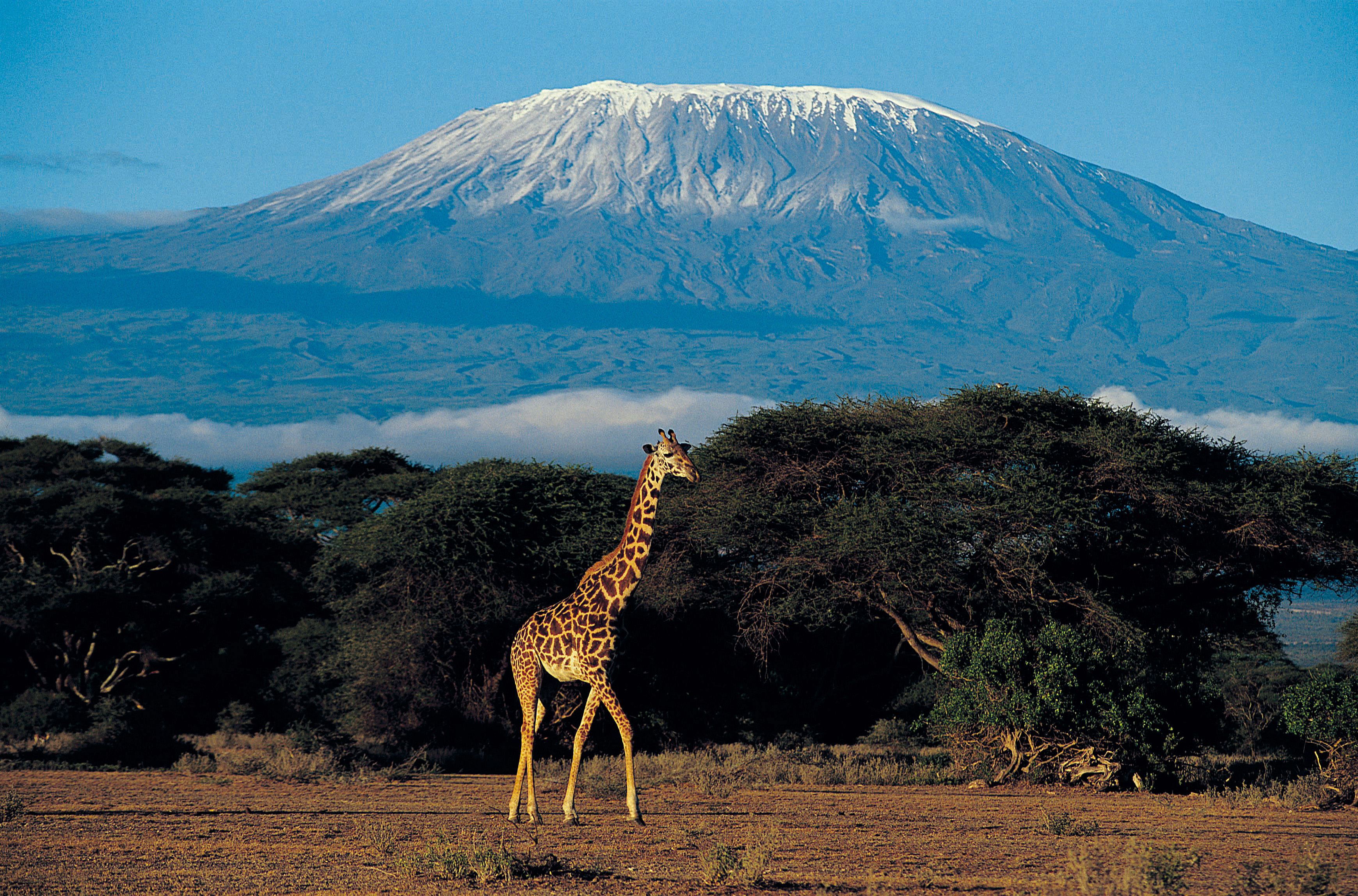 Giraffe at Mount Kilimanjaro