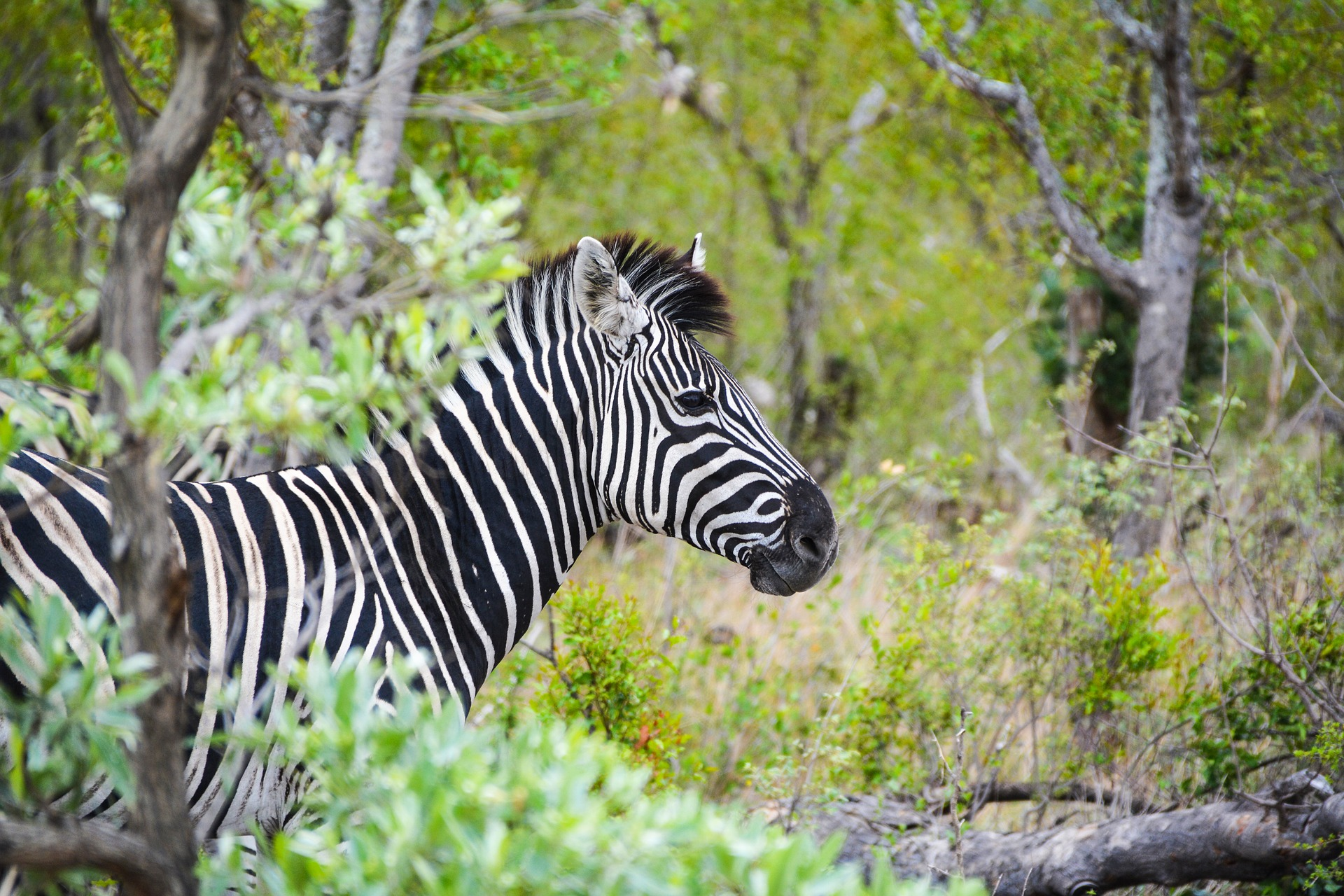 The Best of South Africa | Kruger National Park, Zebra