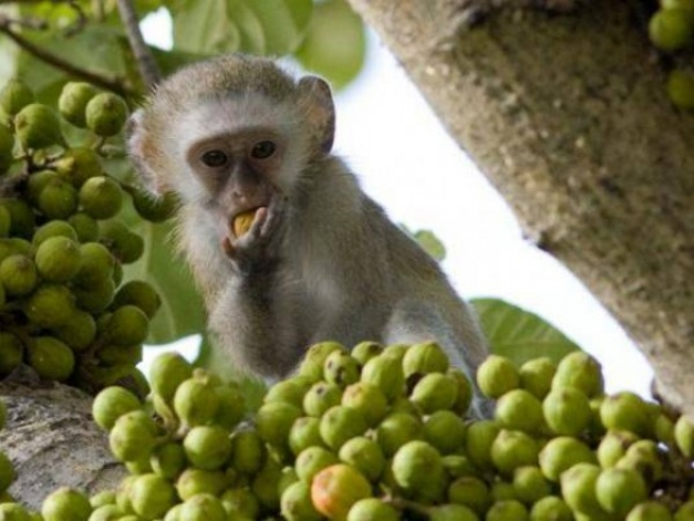 Malawi Highlights, Liwonde National Park, Monkey