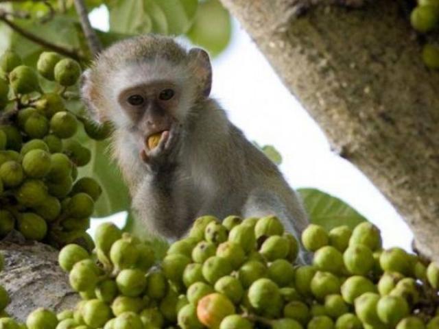 Malawi, Liwonde National Park, Monkey