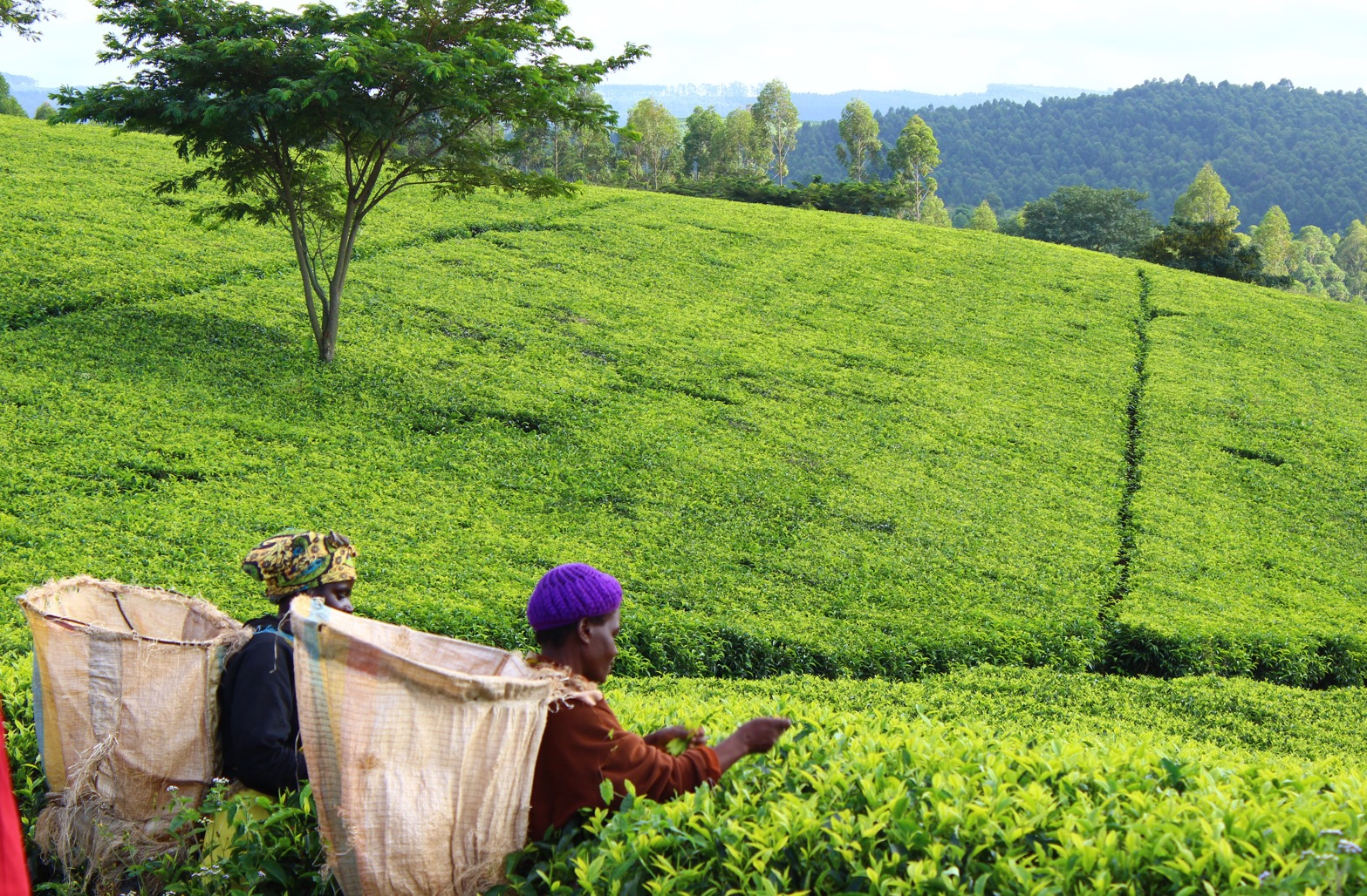 Malawi Highlights, Satemwa Tea Estates