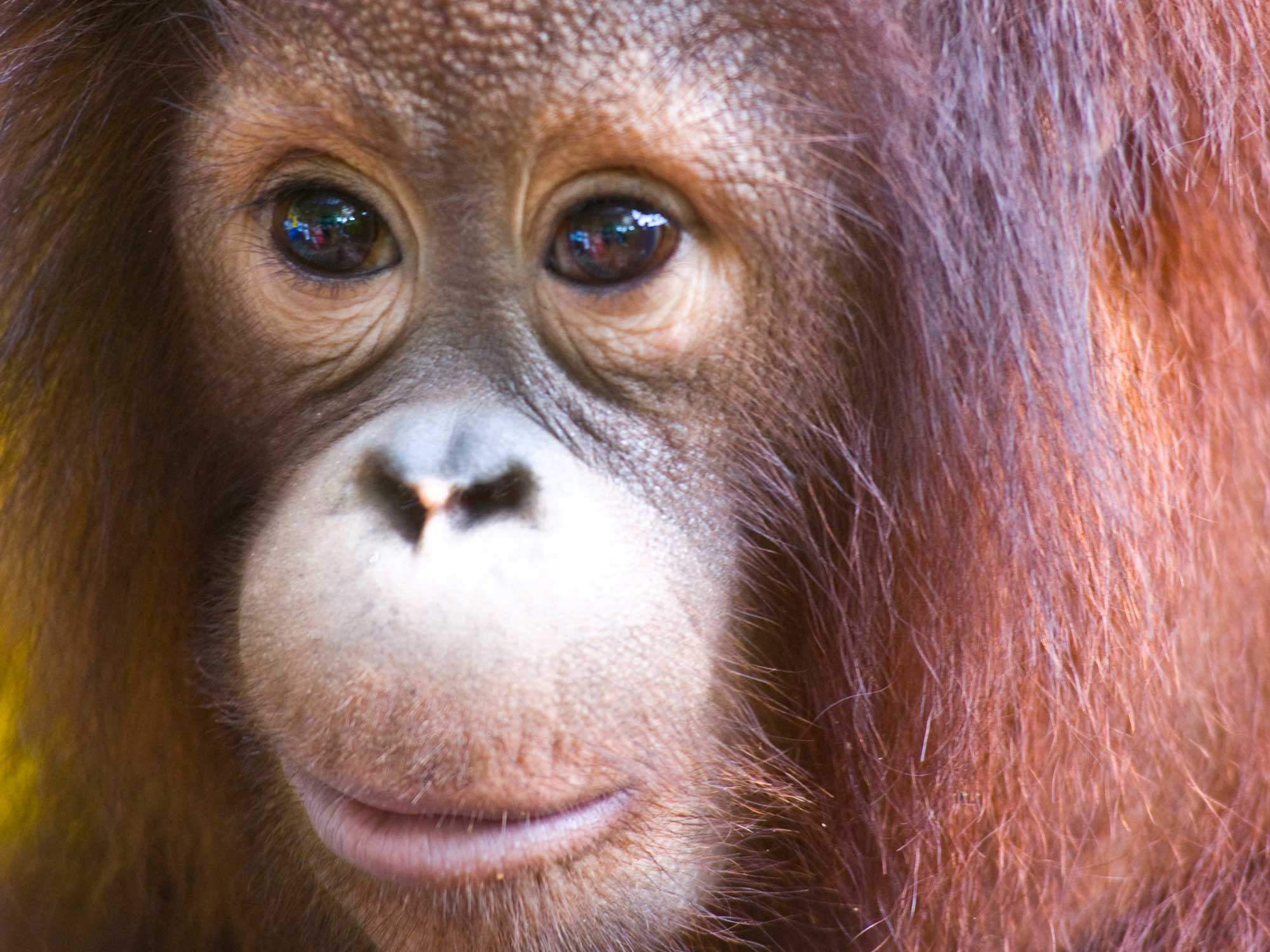 Borneo, Sepilok Orang-utan Rehabilitation Centre