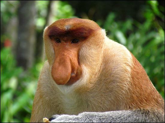Handpicked Borneo, Sabah, Sandrakan, Labulk Bay Prooscis Monkey Sanctuary