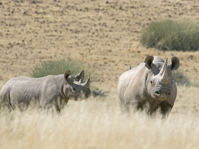 Namibia, Desert Rhino Camp, Black Rhino