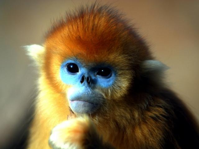 Rwanda, Golden Monkey
