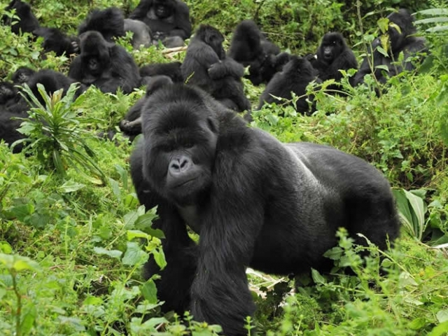 Gorilla Trekking - Virunga Lodge, Volcans National Park, Mountain Gorillas