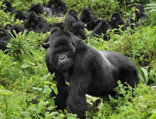 Rwanda, Volcans National Park, Mountain Gorilla