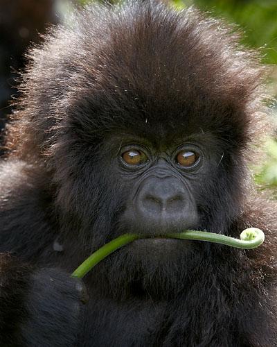 Rwanda, Volcans National Park, Mountain Gorillas
