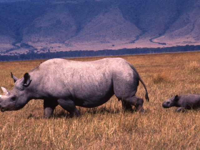 Tanzania Highlights, Ngorongoro Crater, Black Rhino & Young Calf