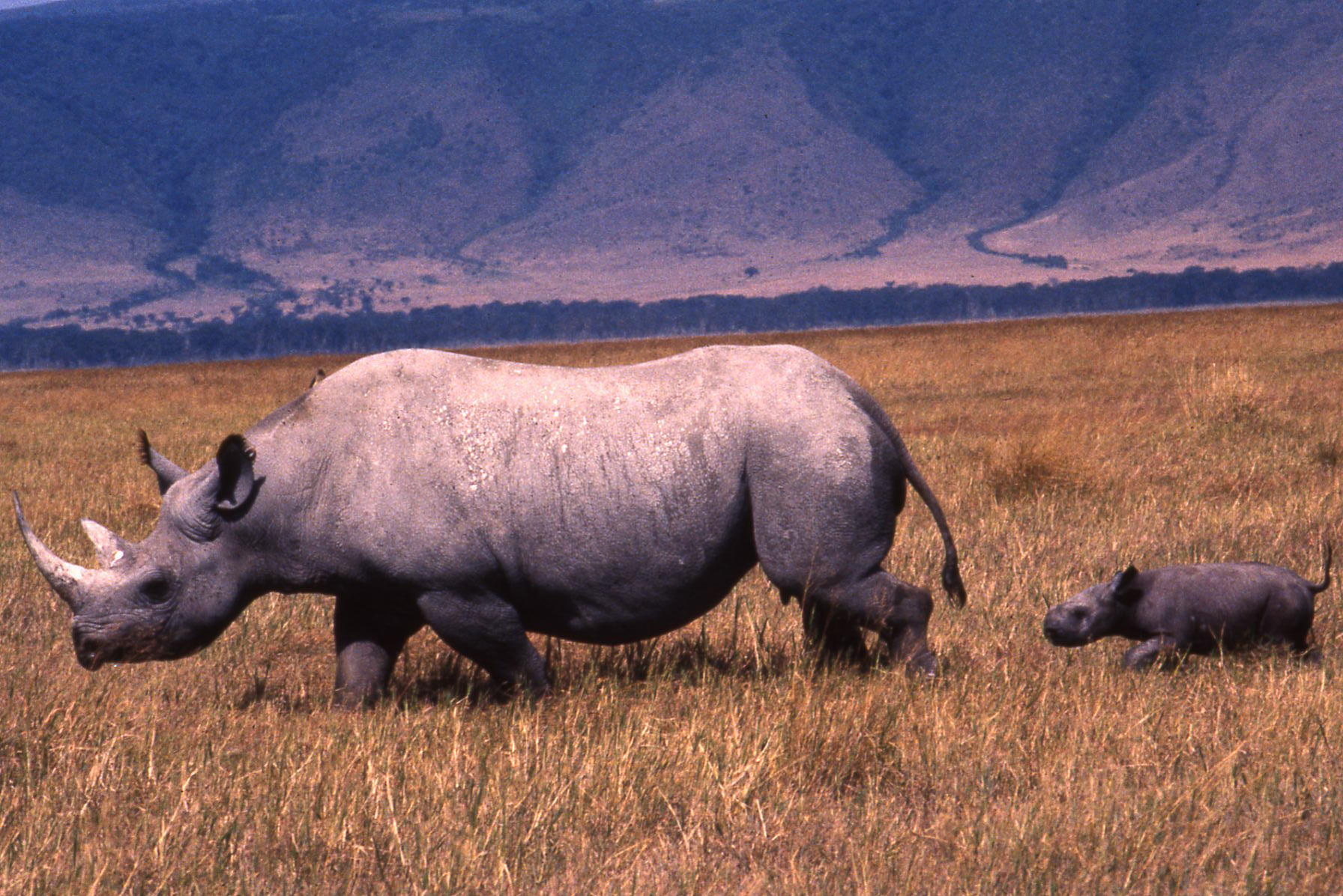 Tanzania, Ngorongoro Crater, Black Rhino & Young Calf