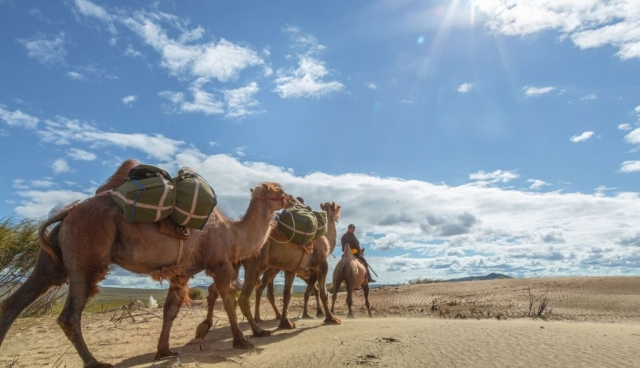 Mongolia, Pack Camels