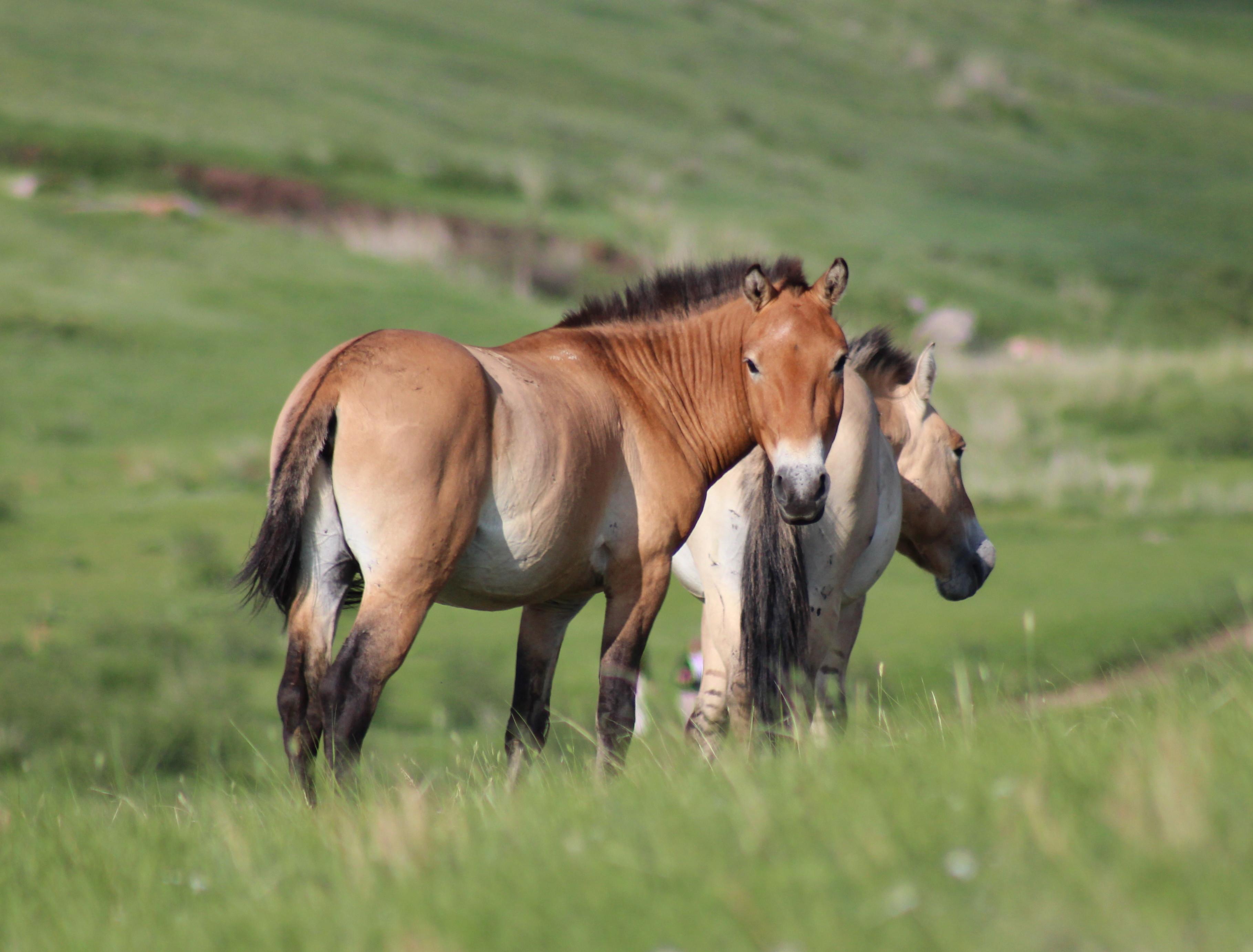 Mongolia, Takhi wild horses