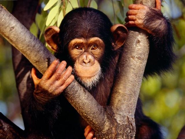 Uganda, Kibale Forest Chimp Sanctuary