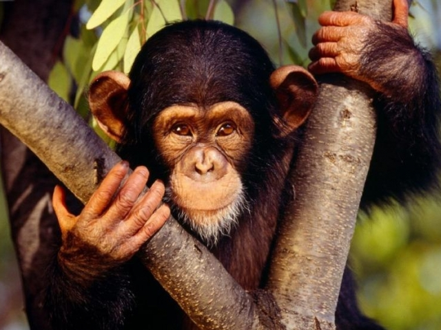 Uganda Highlights | Kibale Forest Chimp Sanctuary