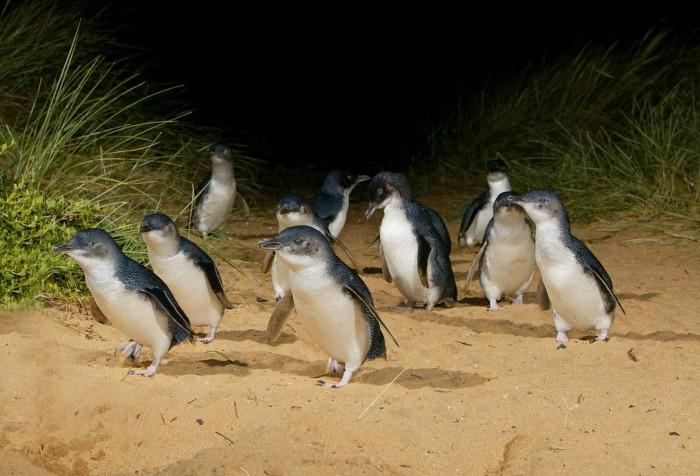 Victori | Penguin Parade, Philip Island