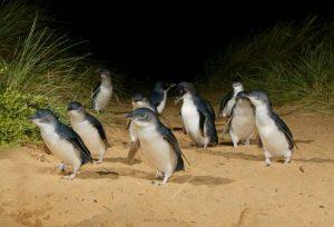 Victori   Penguin Parade, Philip Island