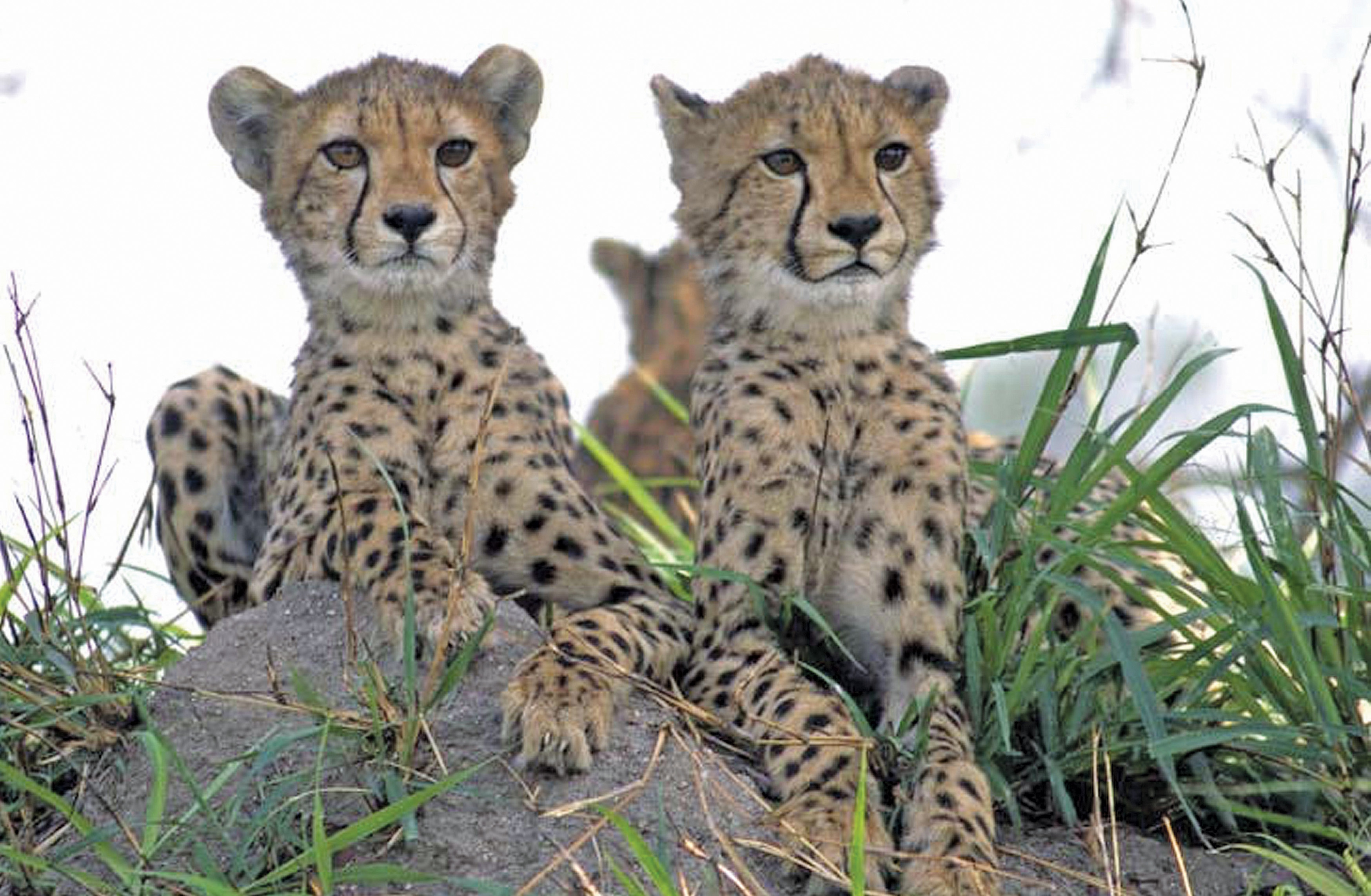 Cheetah Safari, Cheetah Cubs