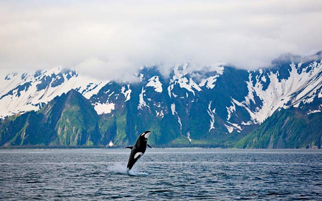 Alaska, Kenai Fjords National Park, Killer Whale