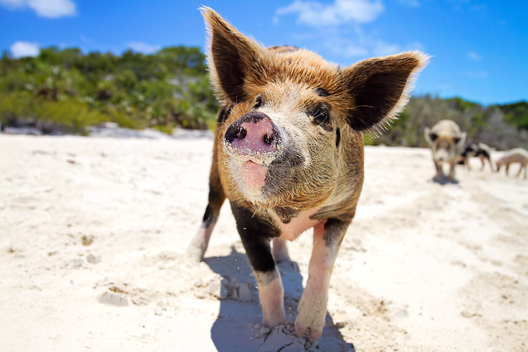 Bahamas, Exumas Island, Pigs