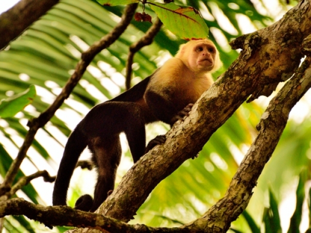 Costa Rica, Carara National Park, White Faced Monkey