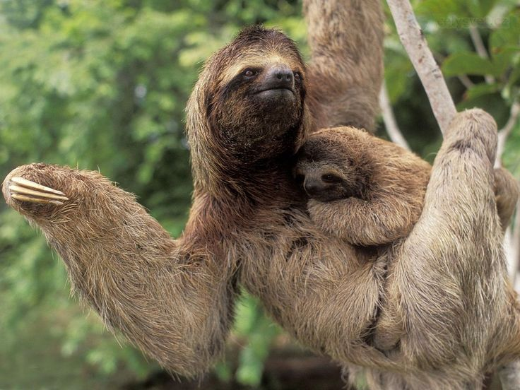 Costa Rica, Corcovado National Park, Three Toed Sloth