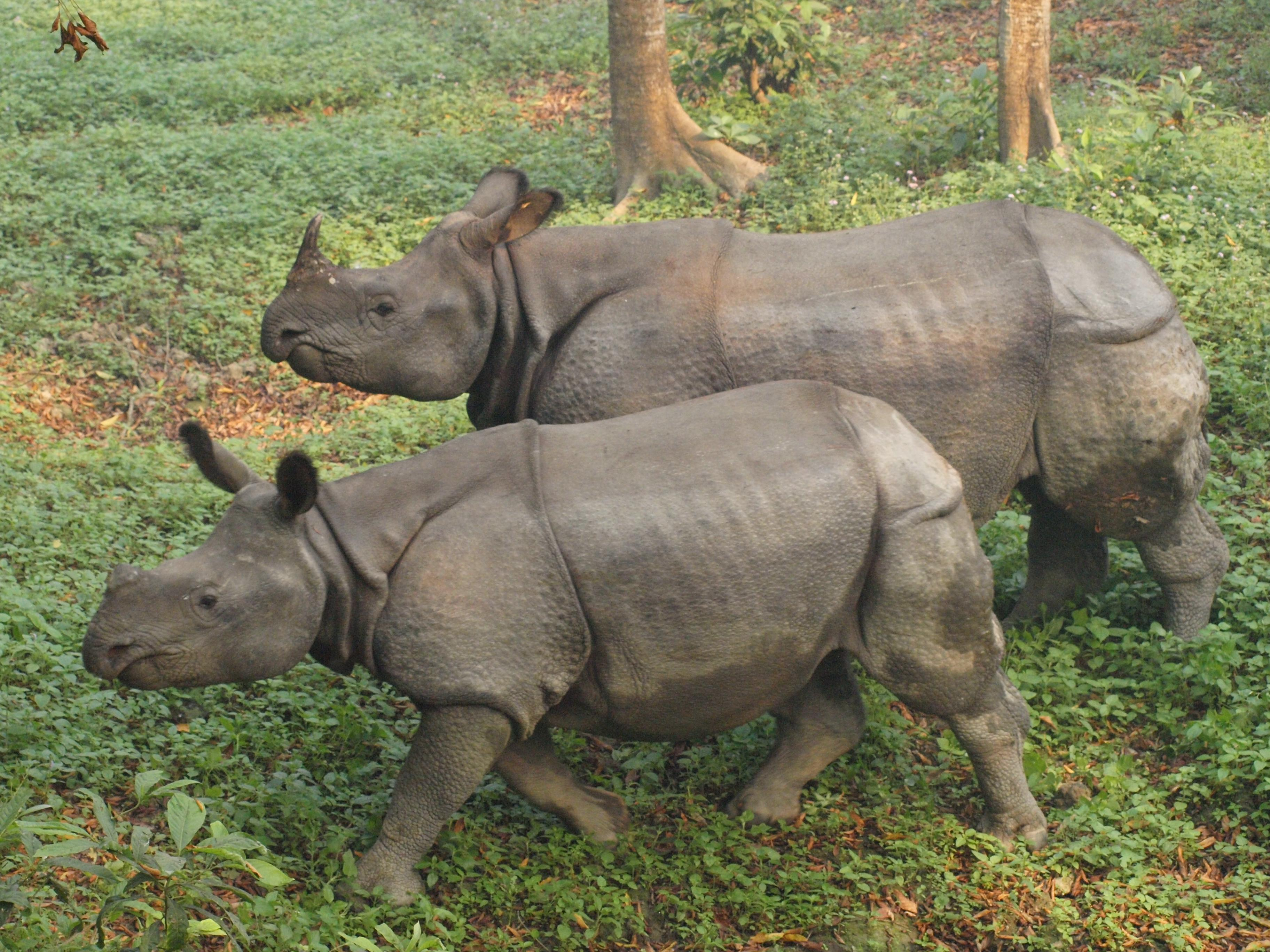 Nepal, Chitwan National Park, One Horned Rhino