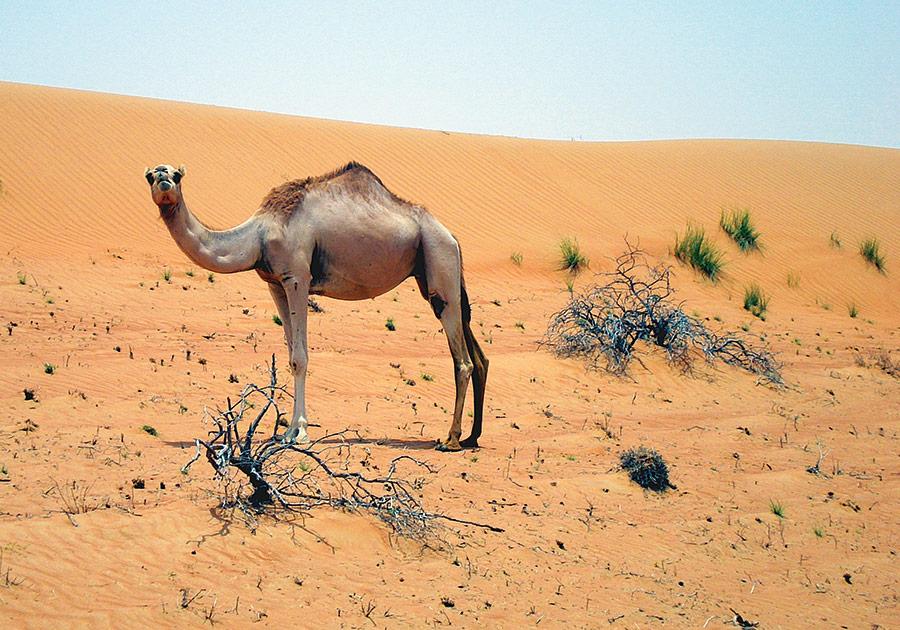 Oman, Wahiba Sands, Camel