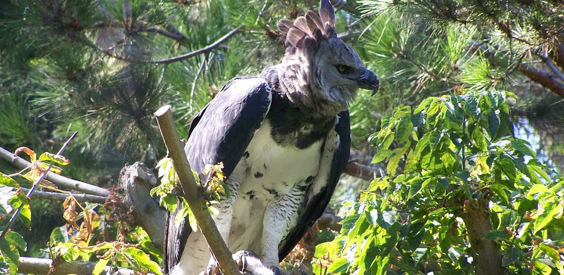Darien Ethnic Expedition - Darien National Park, Harpy Eagle