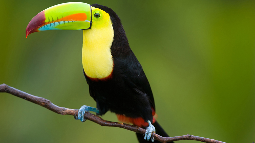 Panama, Soberania National Park, Toucan birds