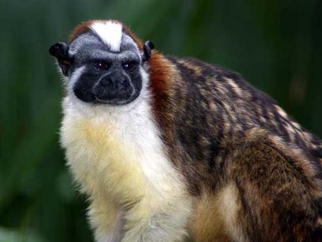 Panama, Wildlife, Geoffroy's Tamarin