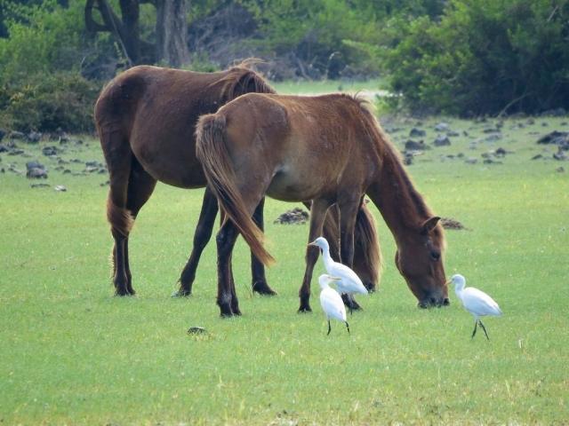 Sri Lanka, Delft Island, Wild Horses