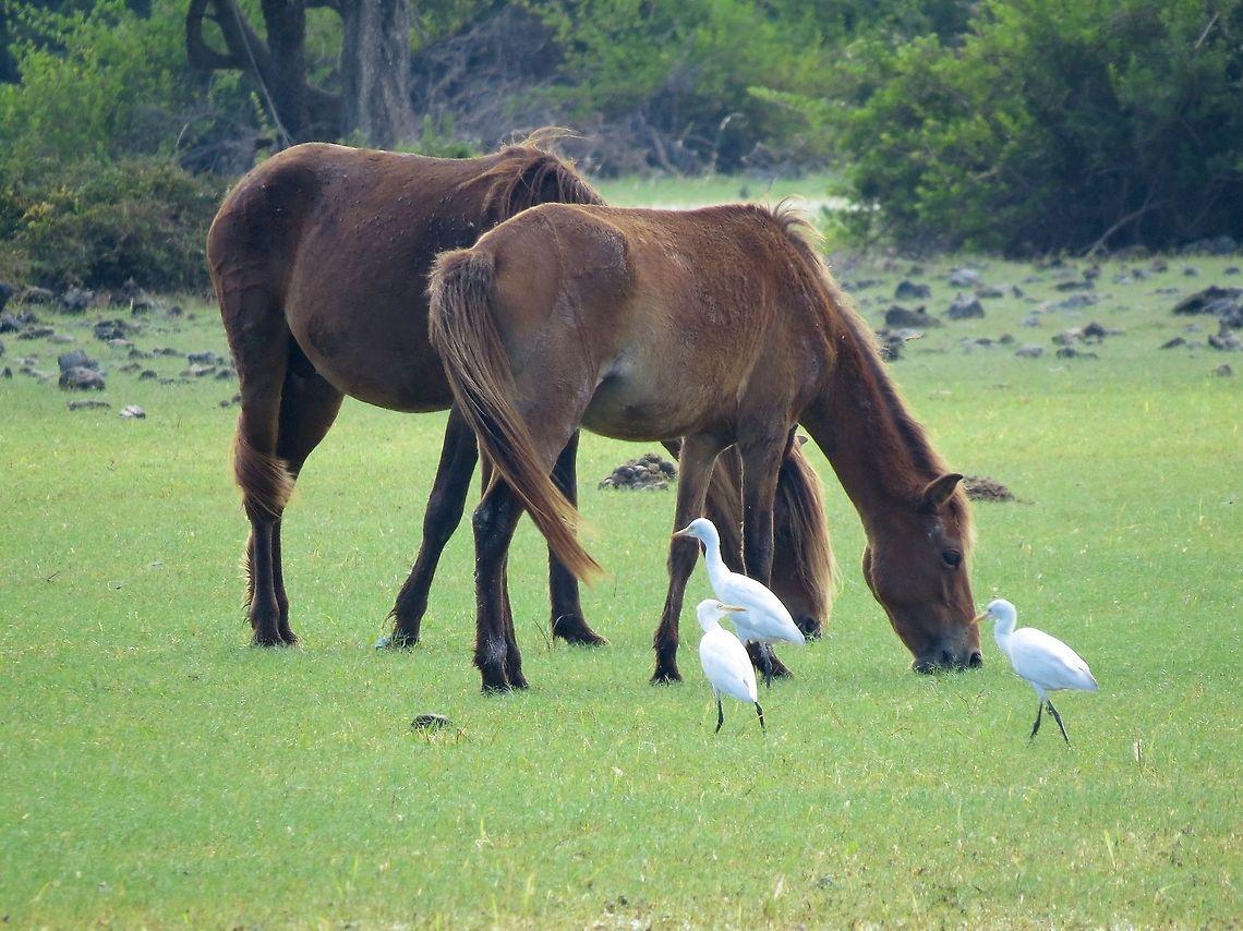 Backroads of Sri Lanka - Wild Horses, Delft Island, Sri Lanka