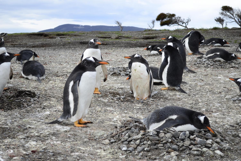 Argentina, Martillo Island, Magellanic smart penguins