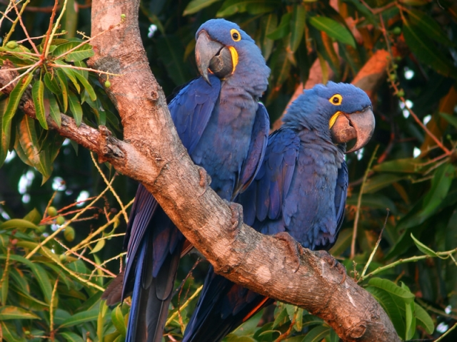 Brazil, Amazon Rainforest, Hyacinth Macaws