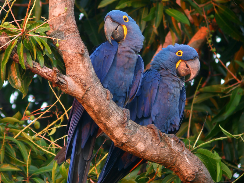 Rhythms of Brazil | Hyacinth Macaws, Amazon Rainforest, Brazil
