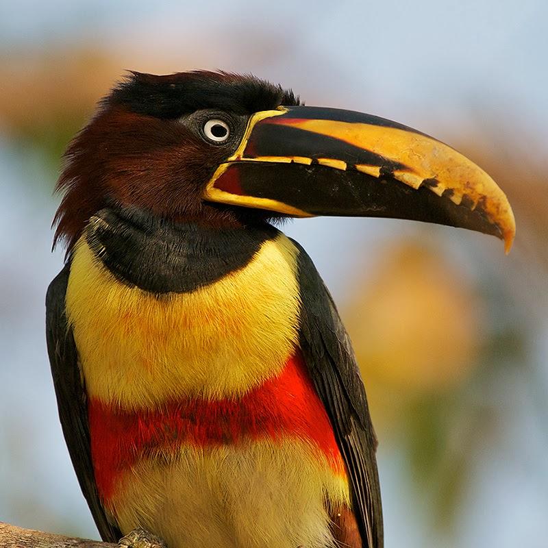 Brazil, Northern Pantanal, Chestnut-eared Aracari